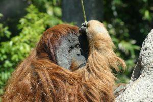 orangs-outangs